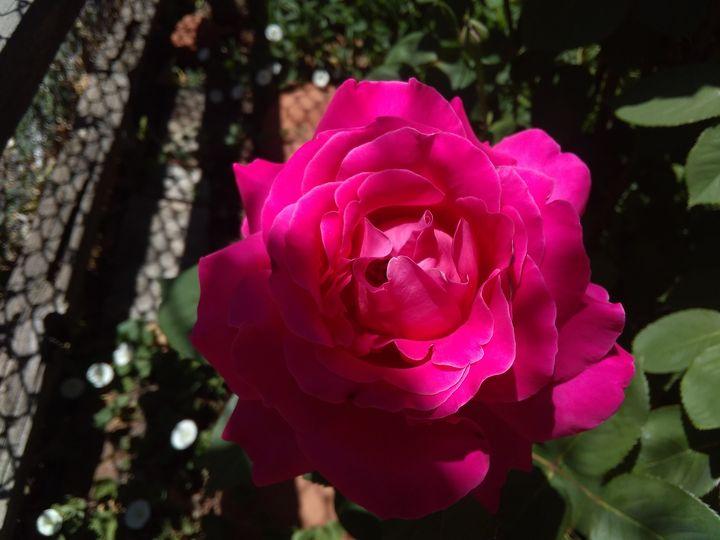 A  Rose - Al Mota