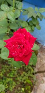 Shower of the Rose..
