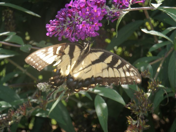 butterfly 2 - Photos