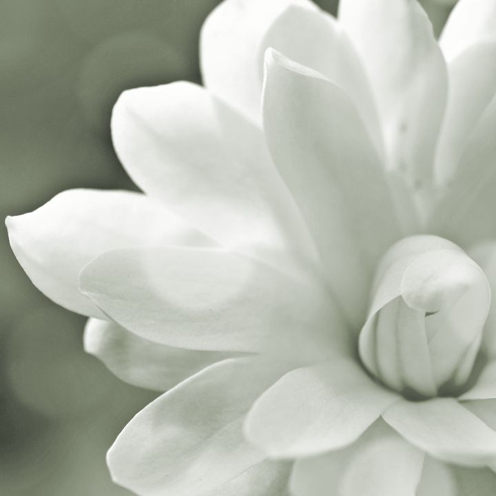 Gray- Scale Magnolia Macro - Mary Pille Photography