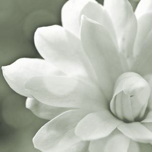 Gray- Scale Magnolia Macro