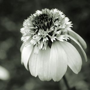 Gray-Scale Coneflower Macro
