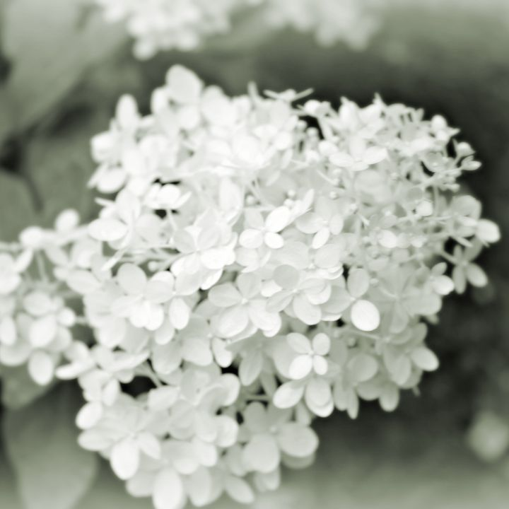 Hydrangea in Gray-Scale - Mary Pille Photography