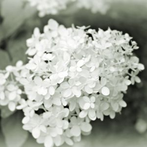 Hydrangea in Gray-Scale