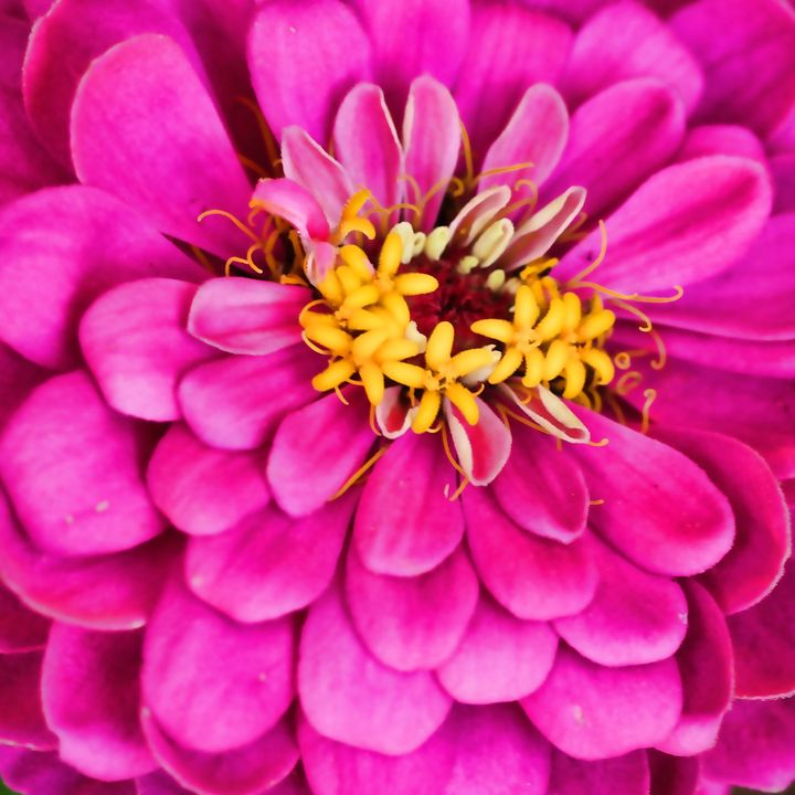 Hot Pink Zinnia Macro - Mary Pille Photography