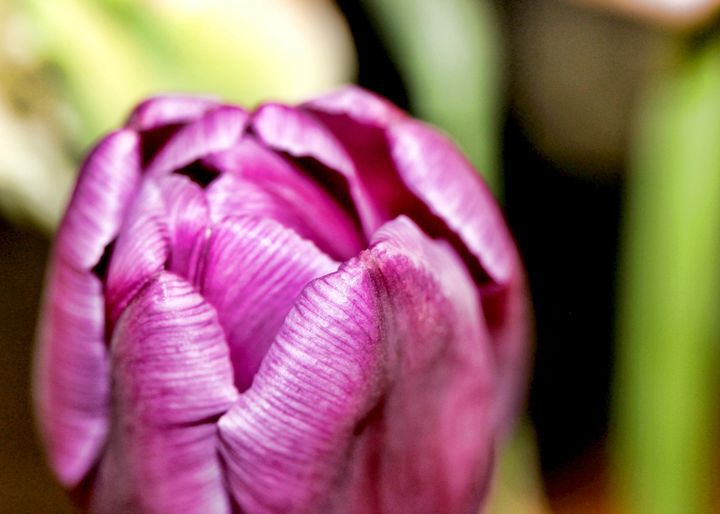 Dark Pink Tulip Macro - Mary Pille Photography