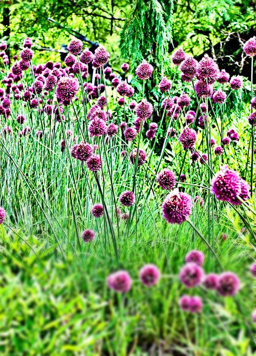 Purple Drumstick Alliums - Mary Pille Photography
