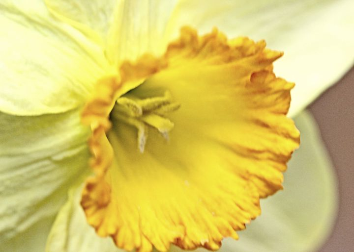Daffodil Macro - Mary Pille Photography