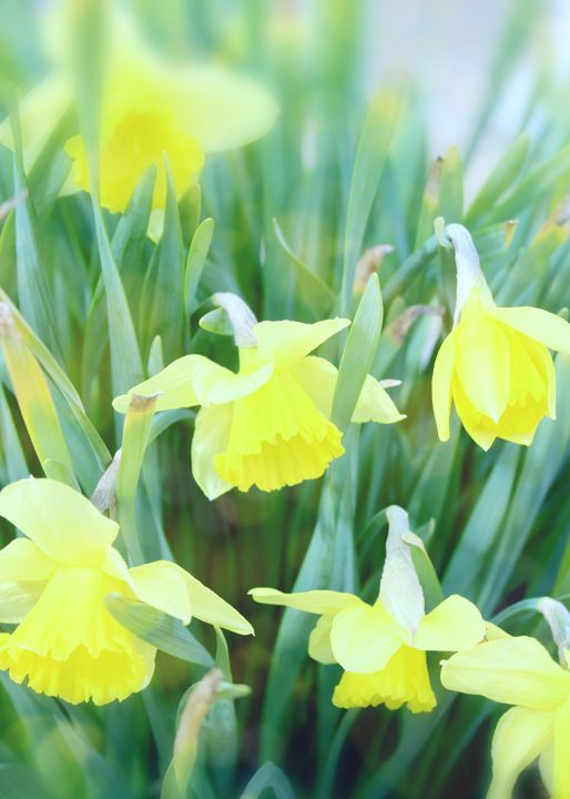 Spring Daffodils - Mary Pille Photography