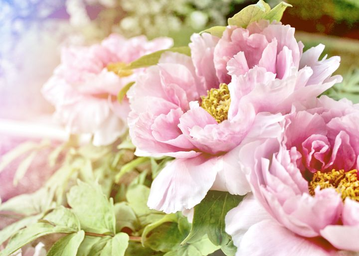 Pink Peonies - Mary Pille Photography