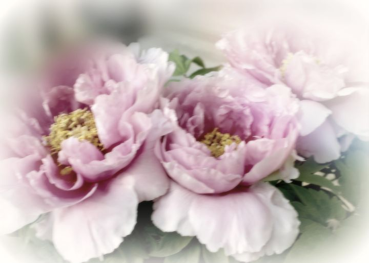 Vintage Peonies - Mary Pille Photography