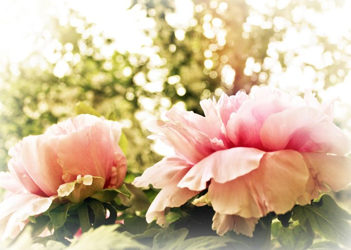 Sun-Kissed Peonies - Mary Pille Photography