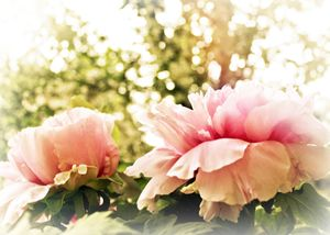 Sun-Kissed Peonies