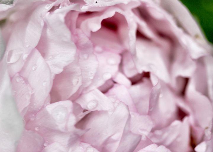 Pink Peony Macro - Mary Pille Photography