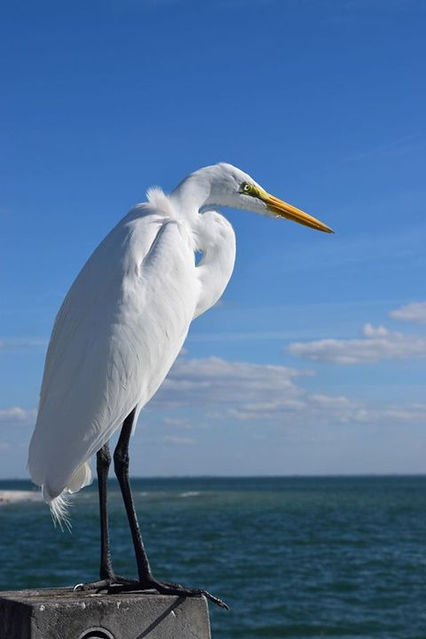 White Heron - Photography By Shao H.