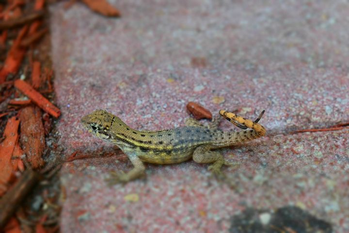 Lizard - Photography By Shao H.