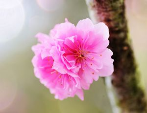 Spring Fuji Cherry Blossoms Spring