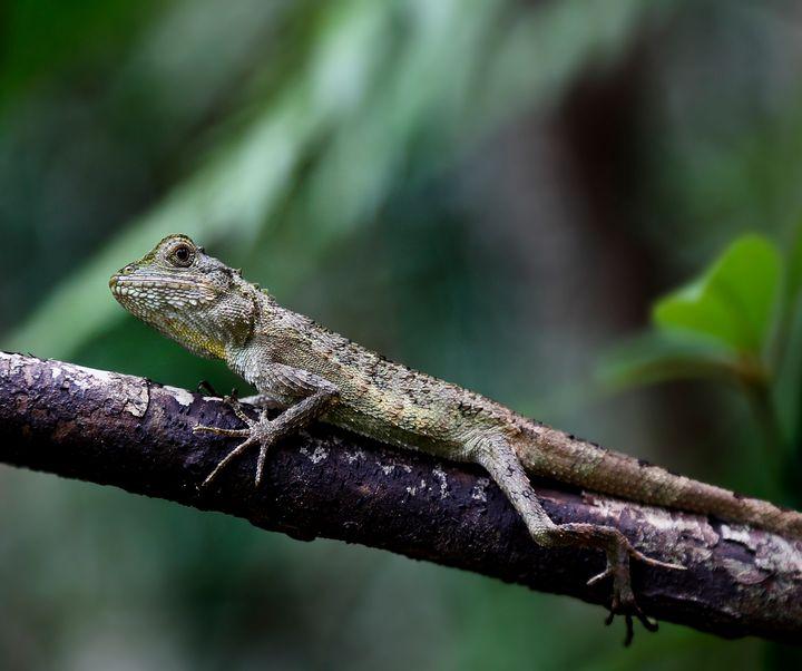 Okinawan Chameleon - Natural Born Talents