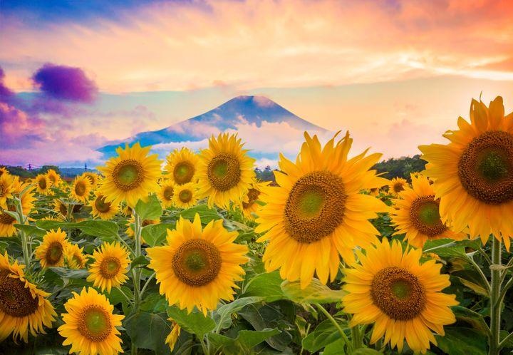 Sunflower at Dusk - Natural Born Talents