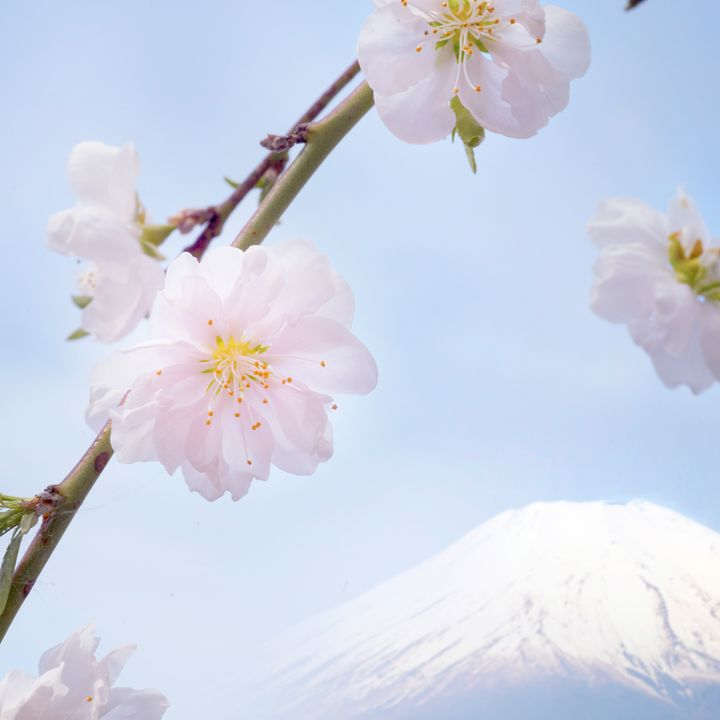 Spring Cherry Blossoms at Mt. Fuji - Natural Born Talents
