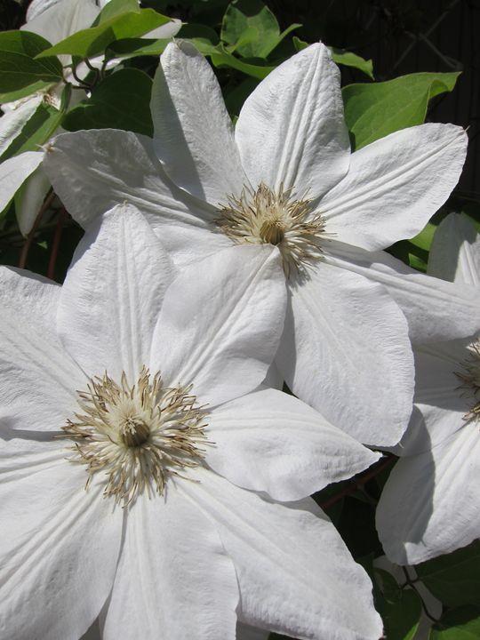 White Flowers - Susan Riha Parsley Gallery Art Ink It!