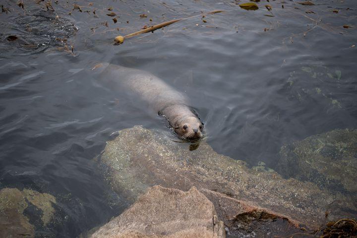 Monterey Sea Lion - Korren Grass Photography
