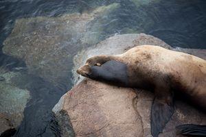 Monterey Sea Lion II