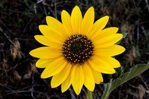 Sunflower - Normads Art Studio
