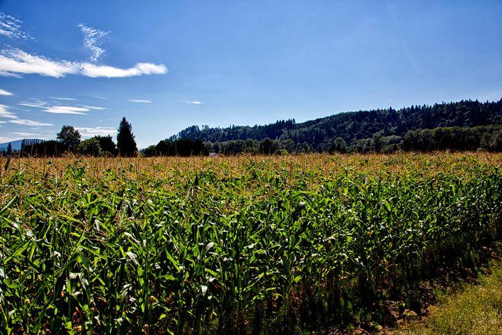 A maize Plantation - Normads Art Studio
