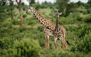 Male and Female Giraffes - Normads Art Studio