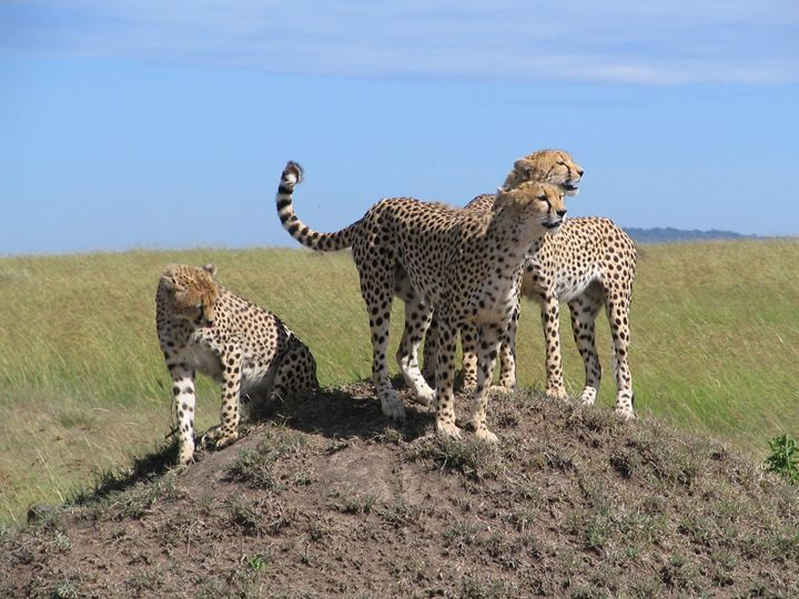 Cheetah - Normads Art Studio
