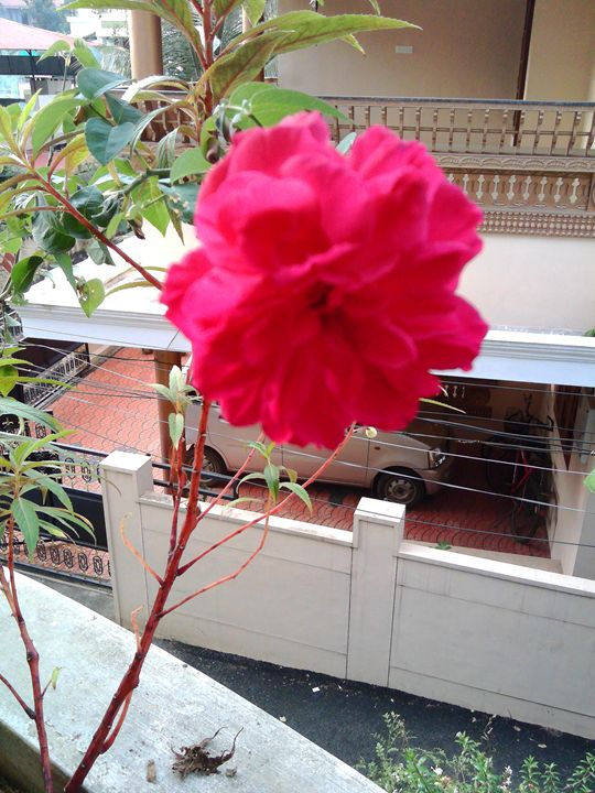 Red Rose - Balcony planting - Lallu's paintings & photography