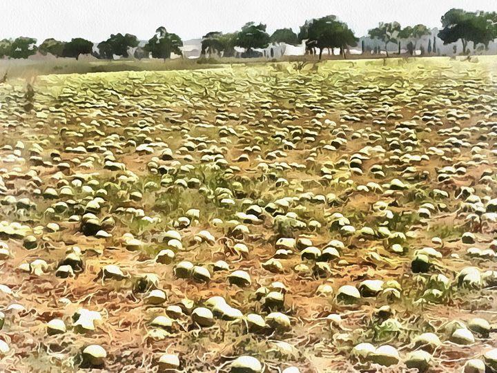 Watermelon field 2 - nova