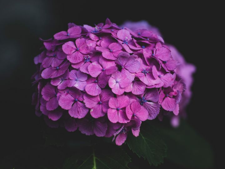 Hydrangea 01 - Gamba Photography