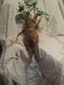 Mandrake Root 1