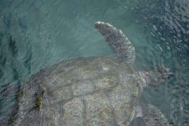 A - Turtles underwater - Lola Bolena