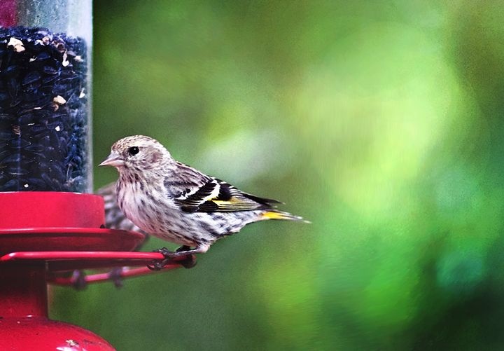 Pine Siskin at Feeder Watercolor - Toutle River Creative