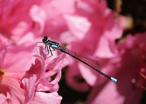 Dragonfly on Azalea