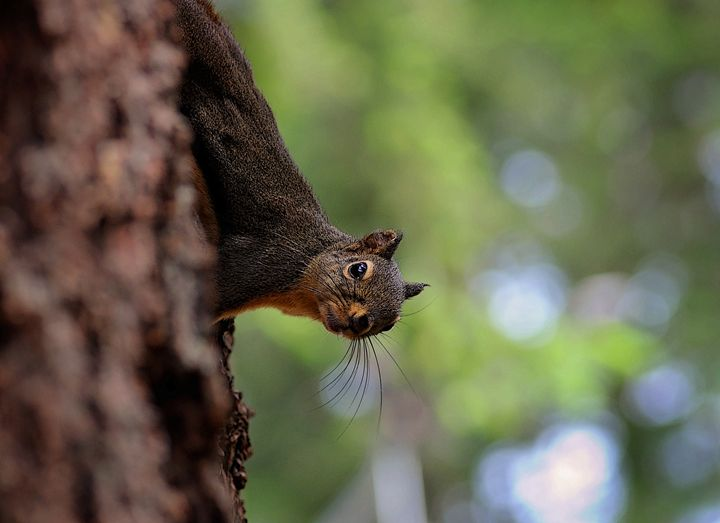 Curious Squirrel - Toutle River Creative