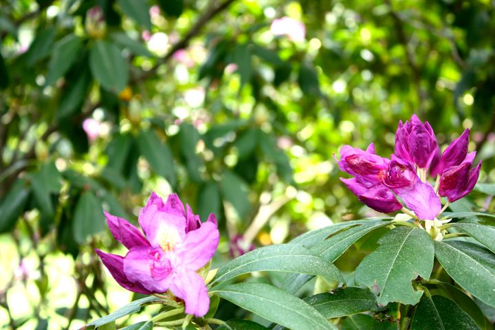 Arthur Arboretum - Rhododendron Path - Emily Sobiecki