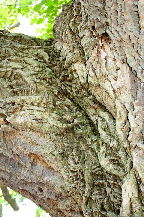Arthur Arboretum - Cork Tree - Emily Sobiecki
