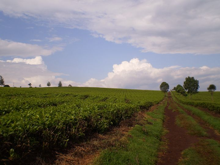 Tea Estate - Here is the world