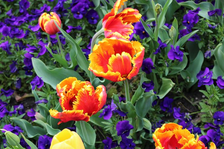 Tulips on Fire - JesseEnslingArt
