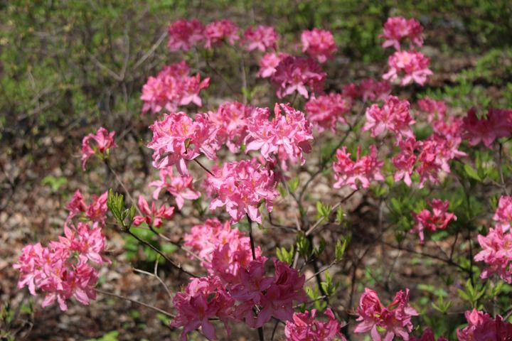 Pretty in Pink II - JesseEnslingArt