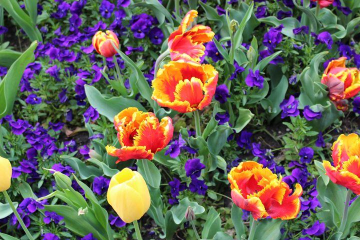 Tulips and Pansies - JesseEnslingArt