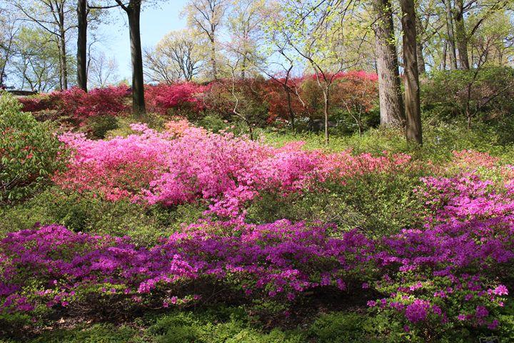 Azaleas at the Botantical Garden - JesseEnslingArt