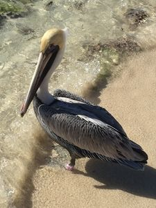 Pelican on Beach at Water's Edge