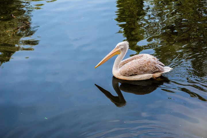 Pelican floating in the lake - Maor Winetrob