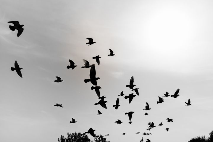 Silhouettes of flying pigeons - Maor Winetrob