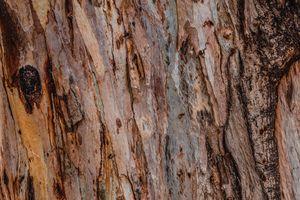 texture of eucalyptus tree - Maor Winetrob